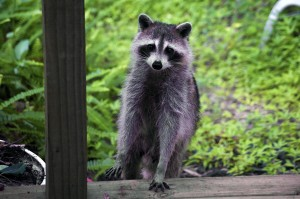 Raccoon critter clean up is covered by insurance!