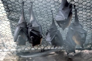 ECOS does Bat critter clean up jobs regularly