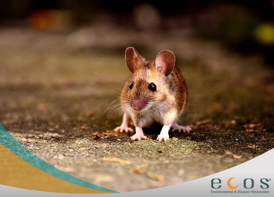 Hantavirus Cleaning Severity & Precautions