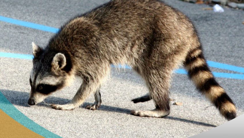 Raccoon Feces and Urine Cleanup